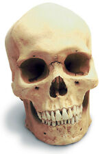 Human Male Skull With Stand Antique Finish 0200-1 New By Skullduggery