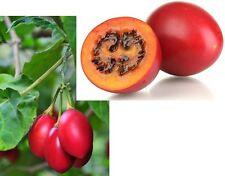 30 Samen Baumtomate (Solanum betaceum, Cyphomandra betacea), Tamarillo, essbar