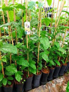 1 schoen Kletterpflanze, Maracuja essbar - Passiflora ca. 145-160 cm hoch