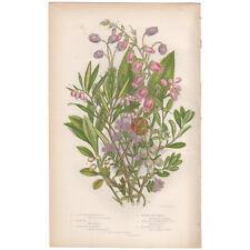 Anne Pratt antique 1860 botanical print Flowering Plants 134 Azalea, Strawberry