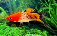 Pair of Koi Sanke x Red Wagtail Swordtail (Xiphophorus hellerii)
