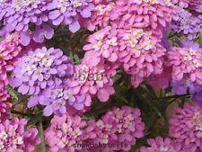 300 Iberis Amara Seeds Umbellata Candytuft Hardy Ground Cover Flower Evergreen
