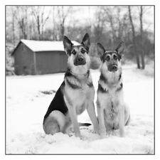 GERMAN SHEPHERD DOGS  IN THE SNOW by old country BARN  .fine ART BW photography