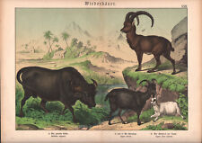 1886 Belle lithographie originale chamois buffle chèvre animaux montagne gravure