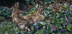 """""""Violet Trails and Cottontails"""" Carl Brenders Limited Edition With Cert"""