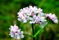 Seeds Valeriana Medicinal Flower Wild Herb Perennial Organic Heirloom Ukraine