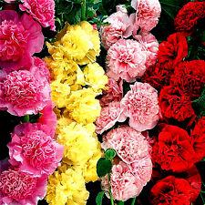 270 Semillas de Rosa Malvarrosa con flores Dobles CHATER Mezcla / ALCEA Rosea