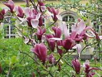Purpur Magnolie -magnolia liliiflora- 15 Samen