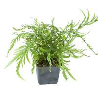 Tropica XL Kongofarn bolbitis heudelotii im XL Topf Mutterpflanze