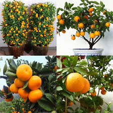 50Pcs Edible Fruit Mandarin Citrus Orange Bonsai Tree Seeds Plants Home Garden A