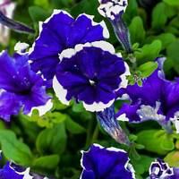 PETUNIA - HULAHOOP FLOWER GARDEN SEED -1000 PELLETED SEEDS - ANNUAL