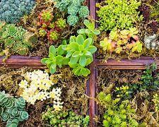 500+ Samen Sedum Mix - >20 Arten - Blühende Dächer - Dachbegrünung - Steingarten