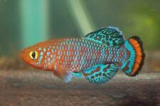 """Nothobranchius rachovii """"Beira-98″ (Killifish) 40+eggs"""