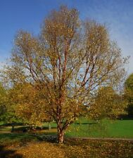Betula albosinensis septentrionalis / Chinese Red Birch Tree grown peat free 4ft