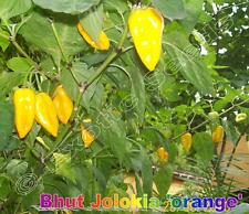 Bhut Jolokia 'orange' schärfste Chili der Welt, 10 Samen