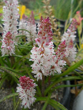 Lachenalia unicolor, 1 PACK OF SEEDS (20  seeds)