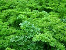100 Graines de Persil Nain Frisé Méthode BIO plantes légumes potager aromatique