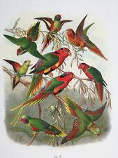 Reichenow Rare Large Original Print Parrot Plate 29 - 1878