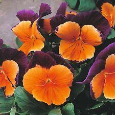 FLOWER PANSY (WINTER HARDY) JOLLY JOKER F2  50 SEEDS
