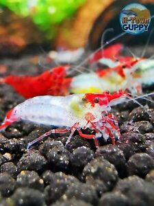 10 +1 RED RILI- Freshwater Neocaridina Aquarium Shrimp. Live Guarantee