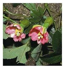 Scarce Passiflora mathewsii - 10 Seeds