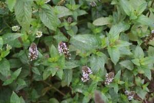 Schokorminze After Eight 1 Pflanze Mentha Teekraut winterhart Staude