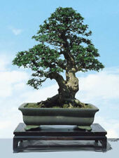 "Ulmus ""parvifolia"" (Chinese Elm)-(10+ Seeds) Bonsai Tree"