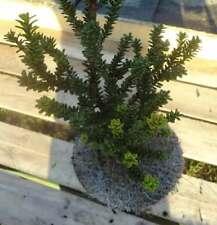 Zwerg Straucheibe Amersfoort 20-25cm - Taxus cuspidata