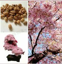 Cherry Blossom Bonsai Tree, Sakura Fower, Beautiful Pink, 10 Seeds