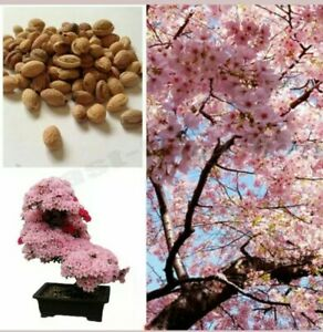 Cherry Blossom Tree, Japanese Sakura Fower, Beautiful Pink, 10 Seeds UK SELLER