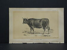 Cows Bulls Cattle Dairy Farming 1888 Engraving #057 Brown Schwyzer Cow