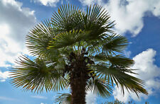Trachycarpus fortunei BULGARIA WINDMILL PALM - HARDY Seeds!