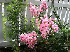Crepe Myrtle Sioux 10 seeds