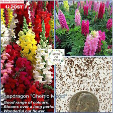 50 SNAPDRAGON 'CHERRIO MIX' SEEDS (Antirrhinum majus); Brilliantly colourful