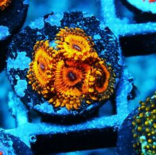 Scarface Paly Zoanthids Palythoa Zoa Paly Soft Corals Wysiwyg