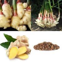 100pcs de graines de gingembre légume semi seme
