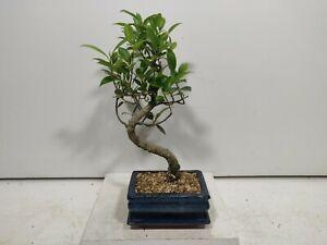 Ficus Retusa ( indoor bonsai) FIG TREE  15cm pot/tray #Z 790