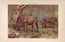 Wisent Europäische Bison Bison bonasus LITHOGRAPHIE von 1894