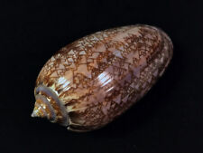 Oliva porphyria, Mexico, 82,9 mm, GREAT QUALITY, SCARCE NOW!