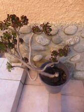 grande plante artichaut tortueuse  + plantes faciles reprise 0ff+laurier du jard