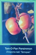 4'-5' Tam-O-Pan Persimmon Fruit Tree Plant Healthy Trees Grow Persimmons Plants