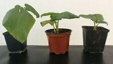 1 Piper M. Kava Pflanze Plant Hawaii Awa RARE