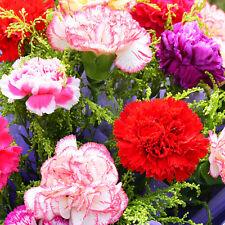 30 Cut Flower Colorful Carnation Seeds Dianthus Caryophyllus Garden Flowers