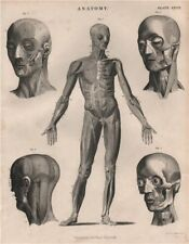 Anatomy. Human body & head front. Muscles. BRITANNICA 1860 old antique print