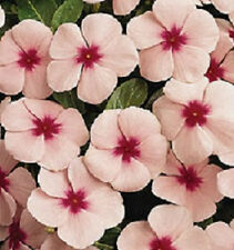 Vinca Seeds Pacifica XP Mediterranean Apricot With Eye Flower Seeds 50 Seeds