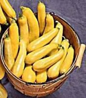 Squash Summer Non-GMO Heirloom STRAIGHTNECK EARLY PROLIFIC 50 SEEDS AAS Winner
