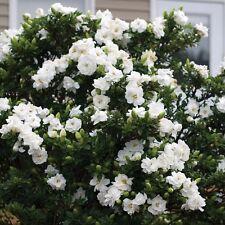 Gardenia Crown Jewels scented evergreen shrub in 9cm pot