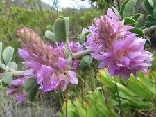 Indigofera Superba - VERY Rare Tropical Plant Shrub Seeds (10)