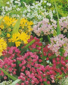 25, 50 oder 100 Allium gemischt Zierlauch Blumenzwiebeln