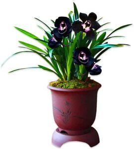 Color Orchids Live Orchid Plant Flowers-Black Pearl-1 Plant(2 Stems)